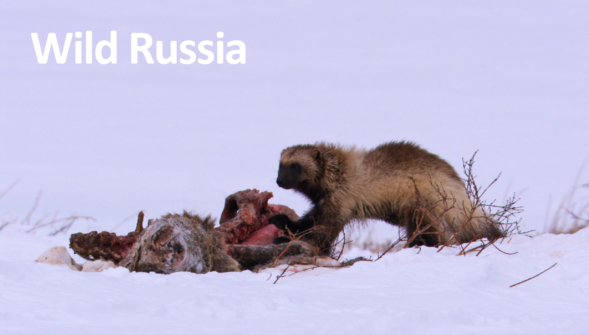 Wild-Russia-Feature-Image