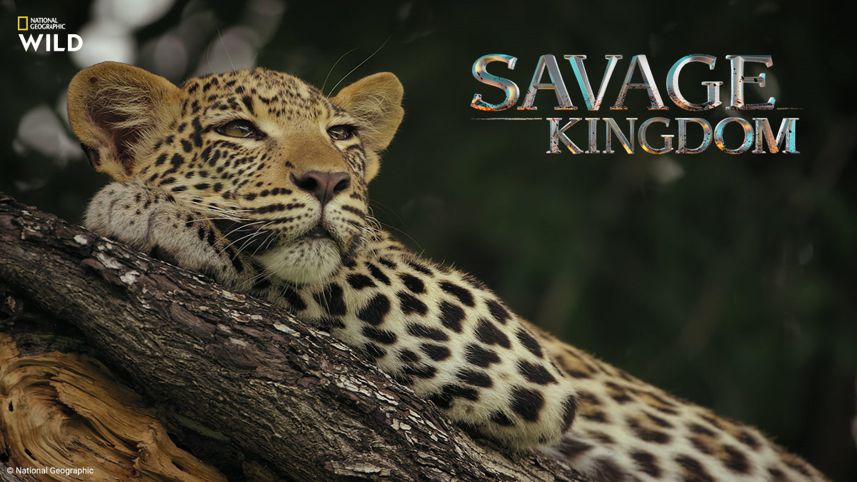 Savage Kingdom 3 on NatGeo Wild on StarSat