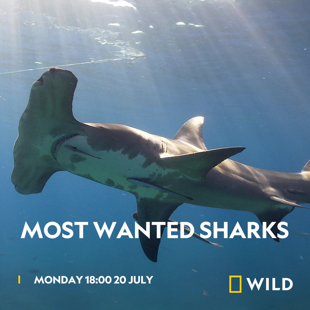 Most Wanted Sharks on National Geographic Wild on StarSat - Web
